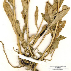 Stems: Iberis amara. ~ By CONN Herbarium. ~ Copyright © 2020 CONN Herbarium. ~ Requests for image use not currently accepted by copyright holder ~ U. of Connecticut Herbarium - bgbaseserver.eeb.uconn.edu/