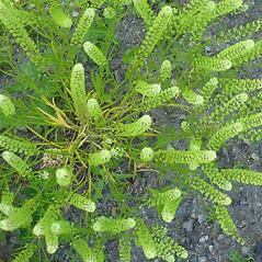 Plant form: Lepidium densiflorum. ~ By Alexey Zinovjev. ~ Copyright © 2018. ~ webmaster[at]salicicola.com ~ Salicicola - www.salicicola.com/