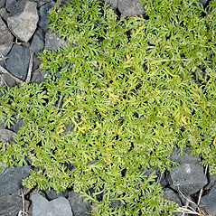Plant form: Lepidium didymum. ~ By Gerry Carr. ~ Copyright © 2019 Gerry Carr. ~ gdcarr[at]comcast.net ~ Oregon Flora Image Project - www.botany.hawaii.edu/faculty/carr/ofp/ofp_index.htm