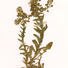 Plant form: Lepidium heterophyllum. ~ By CONN Herbarium. ~ Copyright © 2018 CONN Herbarium. ~ Requests for image use not currently accepted by copyright holder ~ U. of Connecticut Herbarium - bgbaseserver.eeb.uconn.edu/