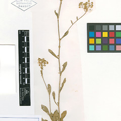 Plant form: Lepidium heterophyllum. ~ By William and Linda Steere and the C.V. Starr Virtual Herbarium. ~ Copyright © 2018 William and Linda Steere and the C.V. Starr Virtual Herbarium. ~ Barbara Thiers, Director; bthiers[at]nybg.org ~ C.V. Starr Herbarium - NY Botanical Gardens