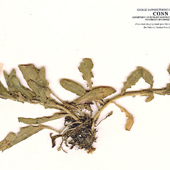 Stems: Lepidium heterophyllum. ~ By CONN Herbarium. ~ Copyright © 2018 CONN Herbarium. ~ Requests for image use not currently accepted by copyright holder ~ U. of Connecticut Herbarium - bgbaseserver.eeb.uconn.edu/