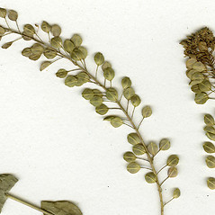 Fruits: Lepidium perfoliatum. ~ By CONN Herbarium. ~ Copyright © 2018 CONN Herbarium. ~ Requests for image use not currently accepted by copyright holder ~ U. of Connecticut Herbarium - bgbaseserver.eeb.uconn.edu/