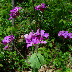 Flowers: Lunaria annua. ~ By Arthur Haines. ~ Copyright © 2018. ~ arthurhaines[at]wildblue.net