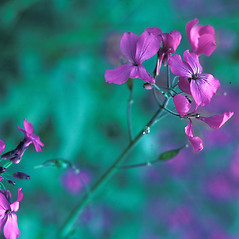 Flowers: Lunaria annua. ~ By Jean Baxter. ~ Copyright © 2018 New England Wild Flower Society. ~ Image Request, images[at]newenglandwild.org