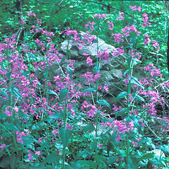 Plant form: Lunaria annua. ~ By Jean Baxter. ~ Copyright © 2019 New England Wild Flower Society. ~ Image Request, images[at]newenglandwild.org