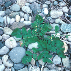 Leaves: Raphanus raphanistrum. ~ By John Lynch. ~ Copyright © 2019 New England Wild Flower Society. ~ Image Request, images[at]newenglandwild.org
