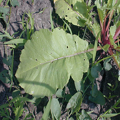 Leaves: Raphanus sativus. ~ By John Hilty. ~ Copyright © 2019 John Hilty. ~ john[at]illinoiswildflowers.info ~ Illinois Wildflowers - www.illinoiswildflowers.info/index.htm