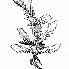 Stems: Rorippa sessiliflora. ~ By Southern Illinois University Press. ~ Copyright © 2018 Southern Illinois University Press. ~ Requests for image use not currently accepted by copyright holder ~ Mohlenbrock, Robert H. 1987. The Illustrated Flora of Illinois, Flowering Plants, smartweeds to hazelnuts, . Southern Illinois U. Press