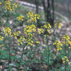 Plant form: Sinapis arvensis. ~ By Frank Bramley. ~ Copyright © 2019 New England Wild Flower Society. ~ Image Request, images[at]newenglandwild.org