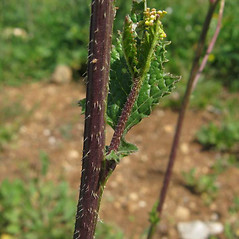 Stems: Sinapis arvensis. ~ By Luigi Rignanese. ~ Copyright © 2020 Luigi Rignanese. ~ Requests for image use not currently accepted by copyright holder ~ Acta Plantarum -  www.actaplantarum.org