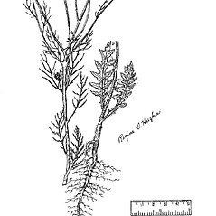 Stems: Sisymbrium altissimum. ~ By Regina O. Hughes. ~  Public Domain. ~  ~ Reed, C.F. 1970. Selected weeds of the United States. USDA Agric. Res. Ser. Agric. Handbook 336