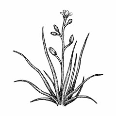 Plant form: Subularia aquatica. ~ By Elizabeth Farnsworth. ~ Copyright © 2019 New England Wild Flower Society. ~ Image Request, images[at]newenglandwild.org