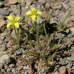 Plant form: Tropidocarpum gracile. ~ By Keir Morse. ~ Copyright © 2018 Keir Morse. ~ www.keiriosity.com ~ www.keiriosity.com