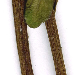 Bark: Pachysandra terminalis. ~ By CONN Herbarium. ~ Copyright © 2020 CONN Herbarium. ~ Requests for image use not currently accepted by copyright holder ~ U. of Connecticut Herbarium - bgbaseserver.eeb.uconn.edu/