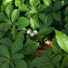 Fruits: Pachysandra terminalis. ~ By Paul S. Drobot. ~ Copyright © 2019 Paul S. Drobot. ~ www.plantstogrow.com, www.plantstockphotos.com ~ Robert W. Freckmann Herbarium, U. of Wisconsin-Stevens Point