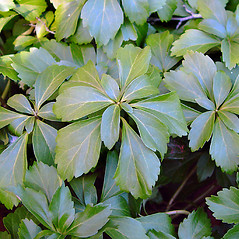 Leaves: Pachysandra terminalis. ~ By Arthur Haines. ~ Copyright © 2020. ~ arthurhaines[at]wildblue.net