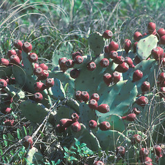 Fruits: Opuntia humifusa. ~ By John Lynch. ~ Copyright © 2019 New England Wild Flower Society. ~ Image Request, images[at]newenglandwild.org