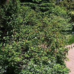 Plant form: Calycanthus floridus. ~ By Paul S. Drobot. ~ Copyright © 2019 Paul S. Drobot. ~ www.plantstogrow.com, www.plantstockphotos.com ~ Robert W. Freckmann Herbarium, U. of Wisconsin-Stevens Point