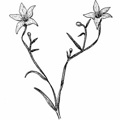 Flowers: Campanula aparinoides. ~ By Elizabeth Farnsworth. ~ Copyright © 2017 New England Wild Flower Society. ~ Image Request, images[at]newenglandwild.org