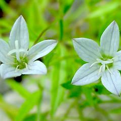 Flowers: Campanula aparinoides. ~ By Glen Mittelhauser. ~ Copyright © 2019 Glen Mittelhauser. ~ www.mainenaturalhistory.org