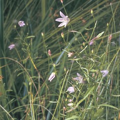 Plant form: Campanula aparinoides. ~ By Frank Bramley. ~ Copyright © 2018 New England Wild Flower Society. ~ Image Request, images[at]newenglandwild.org