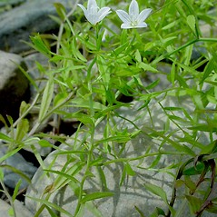 Leaves: Campanula aparinoides. ~ By Glen Mittelhauser. ~ Copyright © 2020 Glen Mittelhauser. ~ www.mainenaturalhistory.org