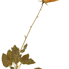 Leaves: Campanula carpatica. ~ By CONN Herbarium. ~ Copyright © 2019 CONN Herbarium. ~ Requests for image use not currently accepted by copyright holder ~ U. of Connecticut Herbarium - bgbaseserver.eeb.uconn.edu/