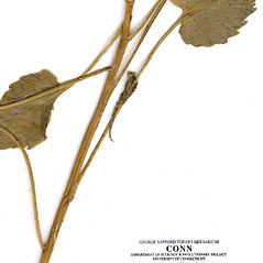 Stems: Campanula carpatica. ~ By CONN Herbarium. ~ Copyright © 2019 CONN Herbarium. ~ Requests for image use not currently accepted by copyright holder ~ U. of Connecticut Herbarium - bgbaseserver.eeb.uconn.edu/