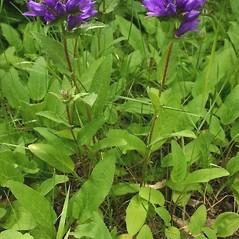 Plant form: Campanula glomerata. ~ By Steve Garske. ~ Copyright © 2019 Steve Garske. ~ asimina[at]alphacomm.net
