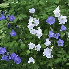 Flowers: Campanula persicifolia. ~ By Paul S. Drobot. ~ Copyright © 2019 Paul S. Drobot. ~ www.plantstogrow.com, www.plantstockphotos.com ~ Robert W. Freckmann Herbarium, U. of Wisconsin-Stevens Point