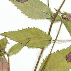 Leaves: Campanula punctata. ~ By Derick B. Poindexter. ~ Copyright © 2019 Derick B. Poindexter. ~ dpoindex[at]live.unc.edu ~ Vascular Flora of Alleghany County, NC - vascularflora.appstate.edu/