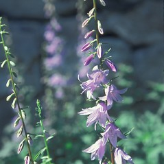 Flowers: Campanula rapunculoides. ~ By Jean Baxter. ~ Copyright © 2018 New England Wild Flower Society. ~ Image Request, images[at]newenglandwild.org