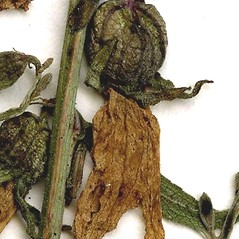 Fruits: Campanula rapunculoides. ~ By CONN Herbarium. ~ Copyright © 2019 CONN Herbarium. ~ Requests for image use not currently accepted by copyright holder ~ U. of Connecticut Herbarium - bgbaseserver.eeb.uconn.edu/