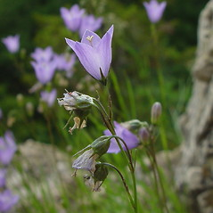 Flowers: Campanula rotundifolia. ~ By Arthur Haines. ~ Copyright © 2017. ~ arthurhaines[at]wildblue.net