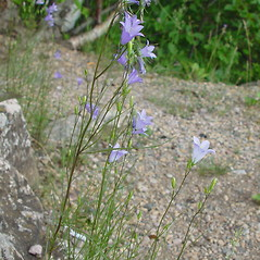 Plant form: Campanula rotundifolia. ~ By Arthur Haines. ~ Copyright © 2017. ~ arthurhaines[at]wildblue.net