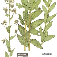 Plant form: Gadellia lactiflora. ~ By William and Linda Steere and the C.V. Starr Virtual Herbarium. ~ Copyright © 2020 William and Linda Steere and the C.V. Starr Virtual Herbarium. ~ Barbara Thiers, Director; bthiers[at]nybg.org ~ C.V. Starr Herbarium - NY Botanical Gardens