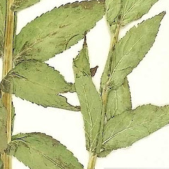 Leaves: Gadellia lactiflora. ~ By William and Linda Steere and the C.V. Starr Virtual Herbarium. ~ Copyright © 2019 William and Linda Steere and the C.V. Starr Virtual Herbarium. ~ Barbara Thiers, Director; bthiers[at]nybg.org ~ C.V. Starr Herbarium - NY Botanical Gardens
