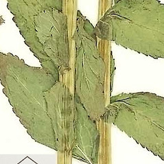 Stems: Gadellia lactiflora. ~ By William and Linda Steere and the C.V. Starr Virtual Herbarium. ~ Copyright © 2017 William and Linda Steere and the C.V. Starr Virtual Herbarium. ~ Barbara Thiers, Director; bthiers[at]nybg.org ~ C.V. Starr Herbarium - NY Botanical Gardens