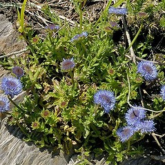 Plant form: Jasione montana. ~ By John Crellin. ~ Copyright © 2018 © J.R. Crellin. ~ Floralimages www.floralimages.co.uk ~ Floral Images - www.floralimages.co.uk