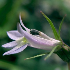 Flowers: Lobelia inflata. ~ By Glen Mittelhauser. ~ Copyright © 2018 Glen Mittelhauser. ~ www.mainenaturalhistory.org
