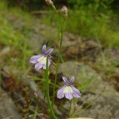 Flowers: Lobelia kalmii. ~ By Glen Mittelhauser. ~ Copyright © 2020 Glen Mittelhauser. ~ www.mainenaturalhistory.org