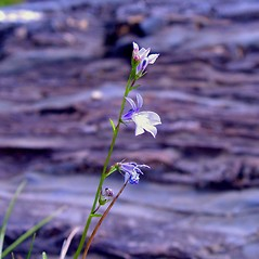 Plant form: Lobelia kalmii. ~ By Arthur Haines. ~ Copyright © 2019. ~ arthurhaines[at]wildblue.net
