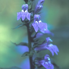 Flowers: Lobelia siphilitica. ~ By Dorothy Long. ~ Copyright © 2019 New England Wild Flower Society. ~ Image Request, images[at]newenglandwild.org