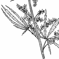 Stems: Cannabis sativa. ~ By Southern Illinois University Press. ~ Copyright © 2020 Southern Illinois University Press. ~ Requests for image use not currently accepted by copyright holder ~ Mohlenbrock, Robert H. 1990. The Illustrated Flora of Illinois, Flowering Plants, nightshades to mistletoe, . Southern Illinois U. Press