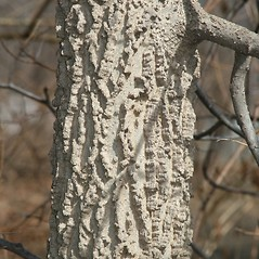 Bark: Celtis occidentalis. ~ By Arieh Tal. ~ Copyright © 2018 Arieh Tal. ~ http://botphoto.com/ ~ Arieh Tal - botphoto.com
