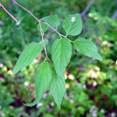 Leaves: Celtis occidentalis. ~ By Arthur Haines. ~ Copyright © 2020. ~ arthurhaines[at]wildblue.net