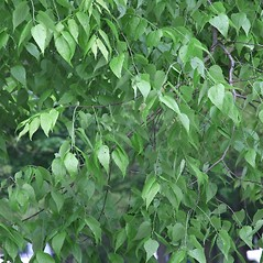 Leaves: Celtis occidentalis. ~ By Arieh Tal. ~ Copyright © 2020 Arieh Tal. ~ http://botphoto.com/ ~ Arieh Tal - botphoto.com