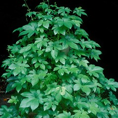 Plant form: Humulus japonicus. ~ By John Randall. ~ Copyright © 2019 CC BY-NC 3.0. ~  ~ Bugwood - www.bugwood.org/