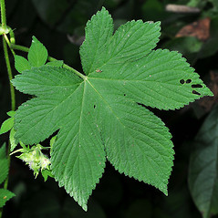 Leaves: Humulus japonicus. ~ By David G. Smith. ~ Copyright © 2019. ~ dgsmith3[at]gmail.com ~ Delaware Wildflowers - delawarewildflowers.org/